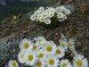 08alf-daisies-lipsett