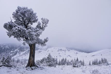 Boundary Pine Grass Pass winter
