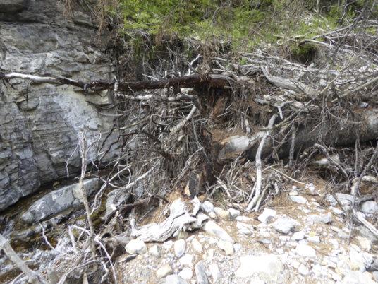 Old Baldy2-deadfall debris