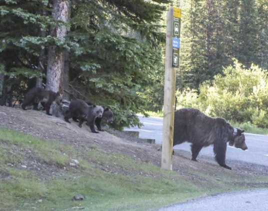 Grizzly 104 and cubs